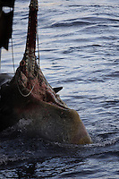 Dead Sperm Whale Physeter macrocephalus tied to side of ship to be towed away from land out to sea. Lofoten, Norway