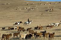 Noamds herding cattle