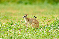 agile wallaby, or sandy wallaby, Macropus agilis, with willie wagtail, or willy wagtail, Rhipidura leucophrys, on the back on a meadow, Queensland, Australia, Oceania