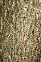 Aspen Populus tremula Salicaceae Height to 18m. Slender tree with a rounded crown. Suckers readily. Bark Ridged and fissured with age. Leaves Rounded to oval, with shallow marginal teeth, palest below; rustle in the slightest breeze and turn golden in autumn. Reproductive parts Reddish male catkins and greenish female catkins on different trees. Status Common on poor, damp soils.