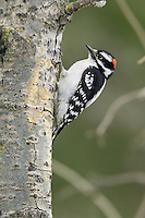 Male Downey Woodpecker perched on the side of a poplar tree