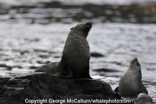 Antarctic Fur seal, Arctocephalus gazella , pups on rock at beach,  Gryviken whaling station South Orkney Islands, Scotia sea Southern Ocean, Antarctica