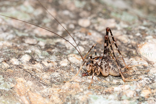 A male Greenhouse Camel Cricket (Diestrammena asynamora) feeds on prey on a rock at night.