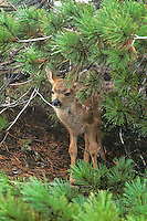 Black-tail deer fawn sheltering under pine tree during rainstorm.  Olympic National Park, WA.  Summer.