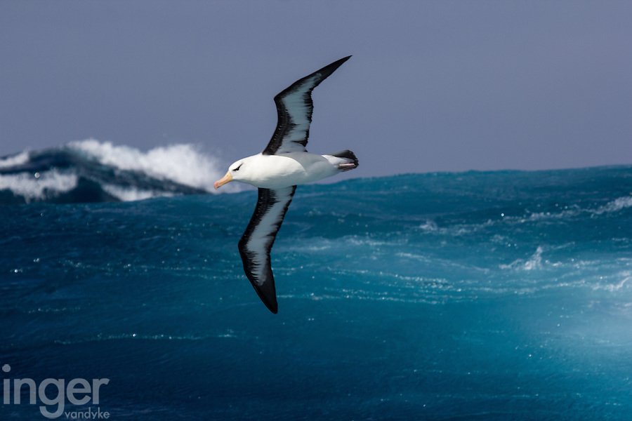 Black-browed Albatross in flight in the Southern Ocean