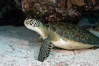 Green Sea Turtle Florida Keys National Marine Sanctuary off Key Largo FL