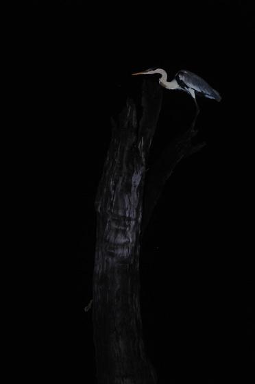 Garza real y tronco / aves de Panamá.<br /> <br /> Edición de 10 | Víctor Santamaría.