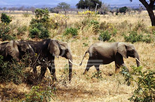 Mikumi Park, Tanzania. Wildlife safari game reserve; elephants in savannah.