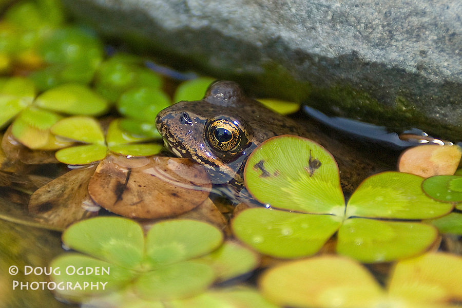 Red Legged Frog peaking out