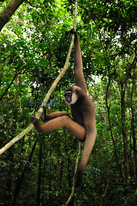 Agile Gibbon or Black-handed Gibbon (Hylobates agilis) climbing on liana, Tanjung Puting National Park, Kalimantan, Borneo, Indonesia