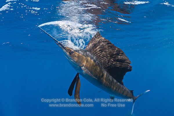 RG42220-D. Atlantic Sailfish (Istiophorus albicans) feeding on Spanish sardines (Sardinella aurita). Note stunned sardine above sailfish. Sailfish has just used its bill, slashing it quickly like a sword, to stun sardine, which it will now swallow. Gulf of Mexico, Mexico, Caribbean Sea.<br /> Photo Copyright &copy; Brandon Cole. All rights reserved worldwide.  www.brandoncole.com
