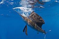 RG42220-D. Atlantic Sailfish (Istiophorus albicans) feeding on Spanish sardines (Sardinella aurita). Note stunned sardine above sailfish. Sailfish has just used its bill, slashing it quickly like a sword, to stun sardine, which it will now swallow. Gulf of Mexico, Mexico, Caribbean Sea.<br /> Photo Copyright © Brandon Cole. All rights reserved worldwide.  www.brandoncole.com