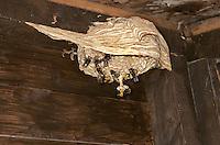 Hornet - Vespa crabro - nest building