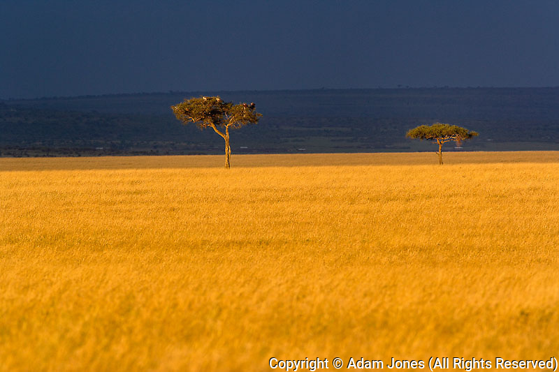 Late afternoon light on tall grass and Umbrella Thorn Acacia, Acacia tortilis, at sunset, Masai Mara Game Reserve, Kenya, Africa