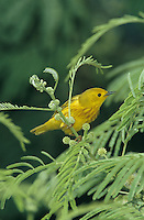 Yellow Warbler, Dendroica petechia,male, South Padre Island, Texas, USA