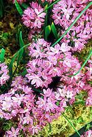 Allium oreophilum 'Zwanenburg', pink ornamental onion