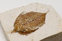 Trilobite fossil (Huntonia lingulifer aka Huntoniatonia lingulifer). Lower Devonian Haragan Formation. Coal County, Oklahoma, USA.