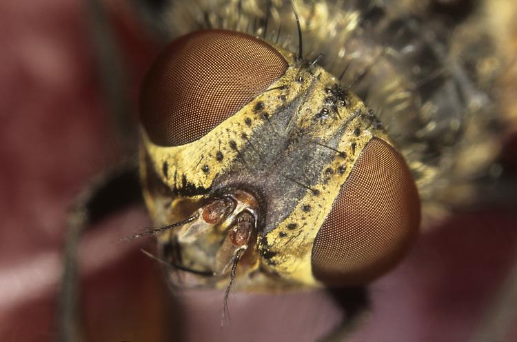 Common housefly - Musca domestica
