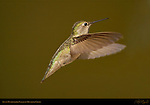 Anna's Hummingbird Female in Hovering Flight, Southern California