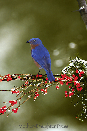 Blue bird on branch with red berries and snow falling