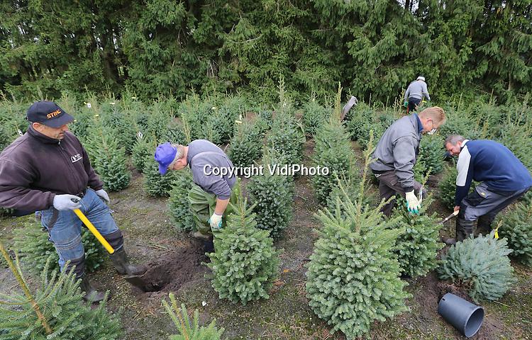 Foto: VidiPhoto<br /> <br /> EMST - Nederlands en Pools personeel van handelskwekerij De Buurte uit Oene is maandag in Emst op de Veluwe begonnen met het steken en potten van de eerste kerstbomen. De Buurte is de grootste kerstbomenkweker van Nederland. Dit jaar worden er 80.000 bomen en boompjes geoogst. Na het steken worden de boompjes direct weer in een pot geplaatst, zodat ze vanaf half november snel geleverd kunnen worden.