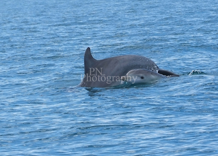 Dolphin mother and baby photographed on dolphin watch trip kangaroo island
