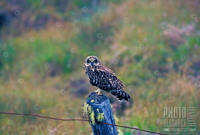 Endangered short eared owl or pueo, (asio flammeus sandwichensis). This endemic race occurs on all main islands.