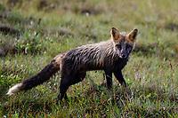 A beautiful cross fox makes its way across the tundra on Alaska's north slope.