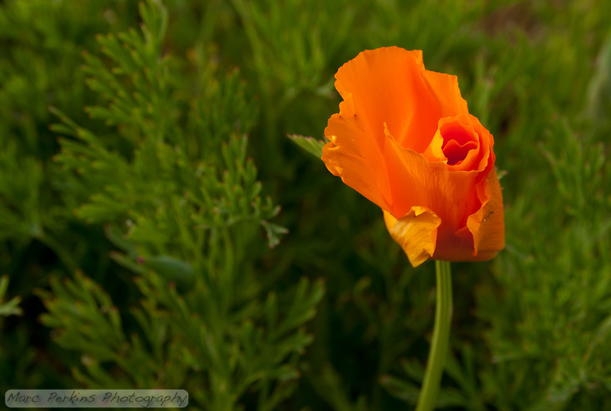 A lone California Poppy (Eschscholzia californica) seen at sunset; poppies close daily at night.  Seen at Laguna Coast Wilderness Park.