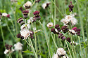 Thistle-like crimson-purple flowerheads of Cirsium rivulare 'Atropurpureum', end June.