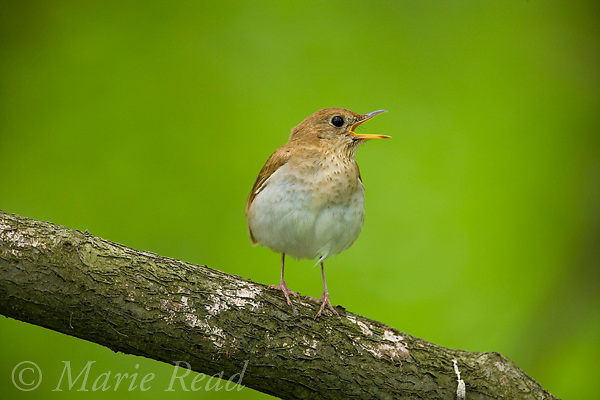 Veery (Catharus fuscescens) calling, Danby, New York, USA
