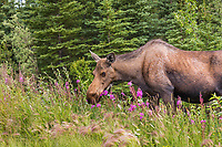 Cow moose feeds on fireweed along the road in Interior, Alaska.