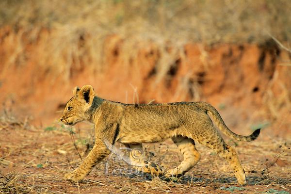 African lion (Panthera leo) cub, Matusadona National Park, Zimbabwe.