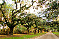 Photo of beautiful oak trees covered in Spanish moss in Charleston, SC.