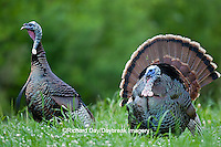 00845-07215 Eastern Wild Turkeys (Meleagris gallopavo) gobblers in field, Holmes Co., MS