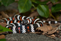 439350004 a captive wildlife rescue california mountain king snake lampropeltis zonata parvirubra coiled in leaf litter in the san gabriel mountains of southern california united states