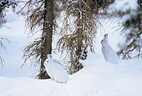 Two snowshoe hares in winter coats sit on the snow in a boreal forest near the Brooks range, Alaska