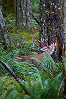 Coastal Black-tailed Deer buck (Odocoileus hemionus).  Pacific Northwest.  Fall.  Buck is rubbing glands agains tree during rutting season.