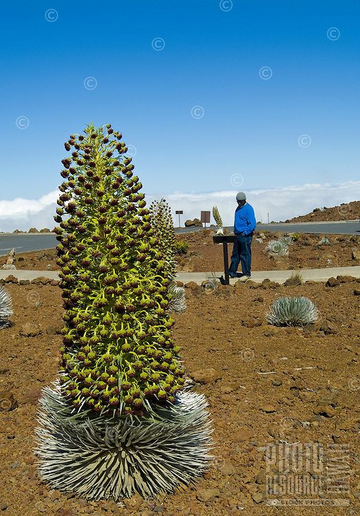 A man wearing a blue jacket reads about the endangered silversword plant in bloom, which is indigenous only to Haleakala on the island of Maui.