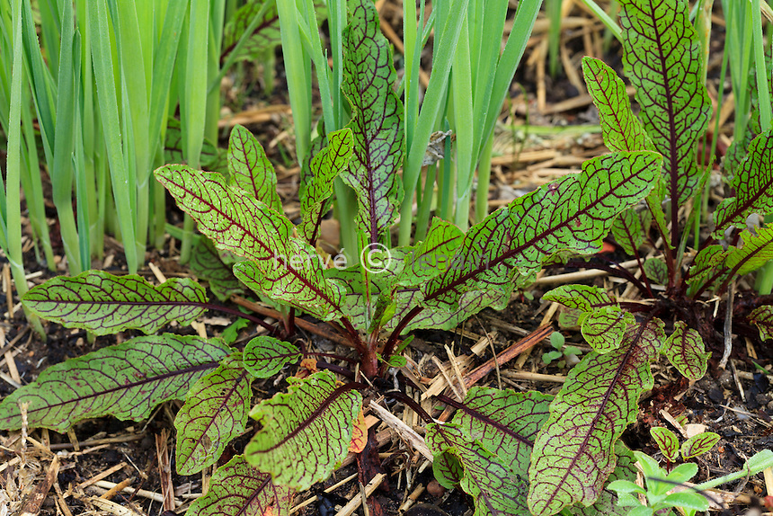 Rumex sanguineum, oseille sanguine // Rumex sanguineum, sorrel red veined or bloody dock in a kitchen garden.