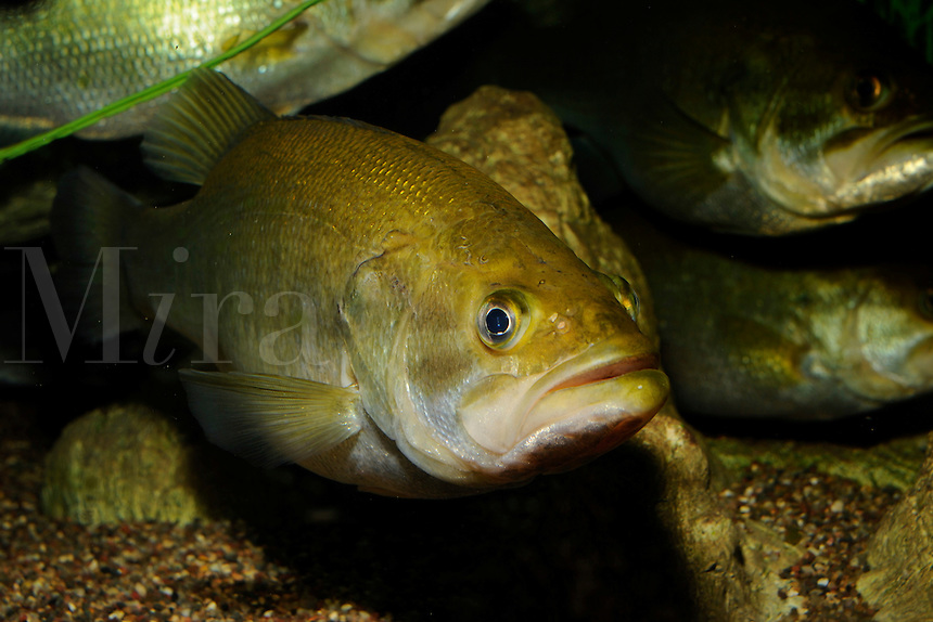 Largemouth bass, Micropterus salmoides, Florida