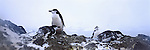 Chinstrap Penguins gather on a rocky ledge in South Orkneys, Antarctica.
