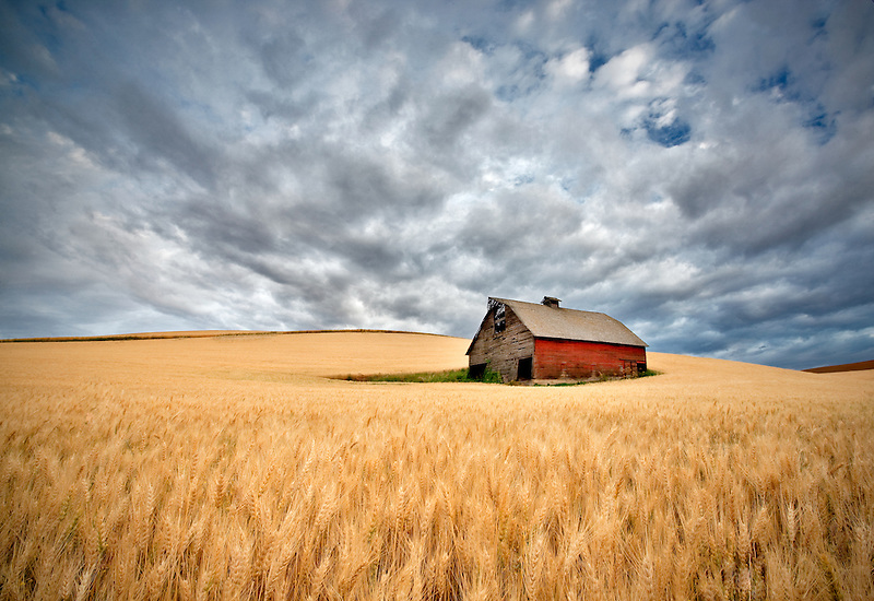 Barn in wheat field with approaching storm clouds. The Palouse, Washington