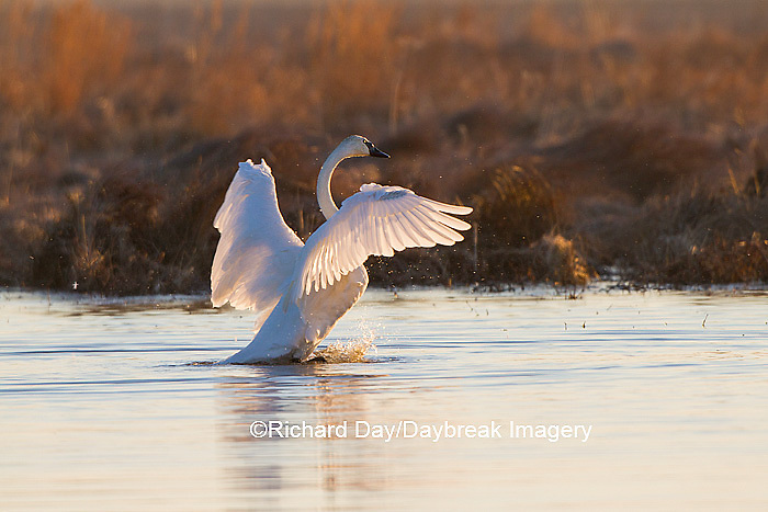 00758-01119 Trumpeter Swan (Cygnus buccinator) flapping wings in wetland, Marion Co., IL