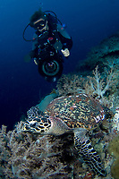 Underwater cameraman filming a Hawksbill Turtle, Eretmochelys imbricata, Tubbataha, Philippines.