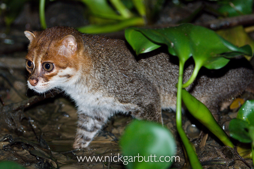 Flat-headed Cat (Felis planiceps) hunting frogs in the river margins at night. Menanggol River, Sabah, Borneo.