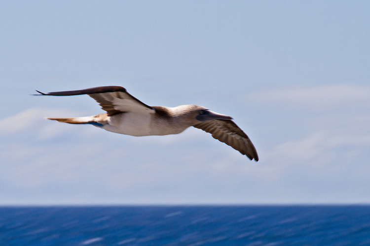With its long wings spread out, a Blue-footed Booby flyes over a beautiful blue ocean in a light blue cloud-enhanced sky.