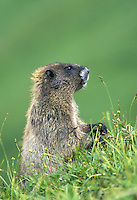 Hoary marmot, Berkley Park, Mount Rainier National Park, Washington