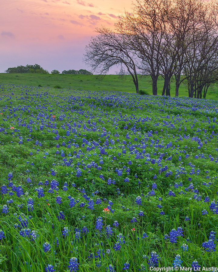 Ellis County, Texas: Field of Texas bluebonnets (Lupinus texensis) and paintbrush (Castilleja indivisa) in early morning near Ennis.