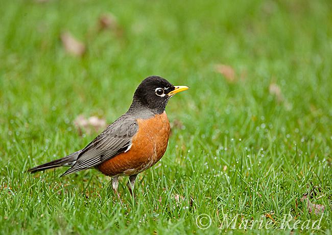 American Robin (Turdus migratorius), male on lawn in spring, New York, USA